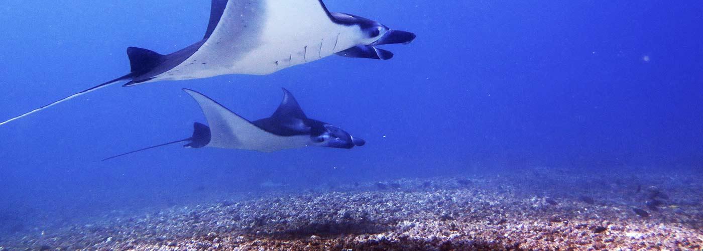 Freediving with Mantas